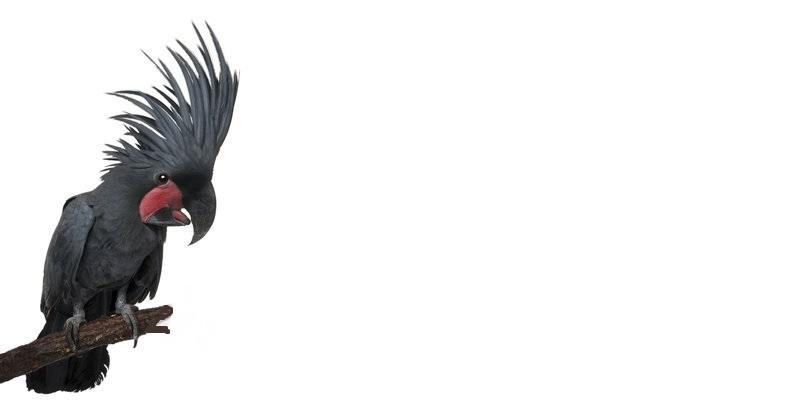 Böser Kakadu